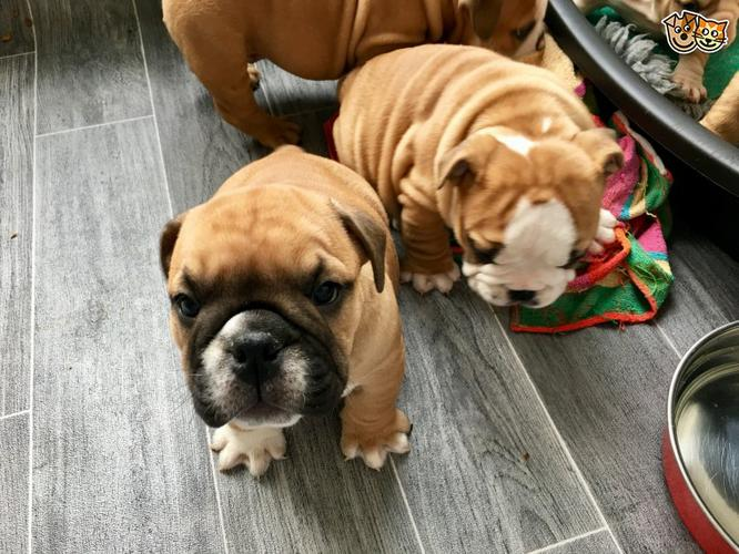 Female and Male E.n.g.l.i.s.h.B.u.l.ld.o.g Pu.pp.ies in need of a good home(330) 362-1273