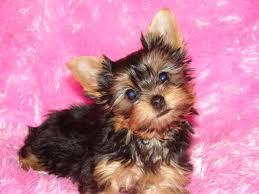 #Available yorkie puppies#