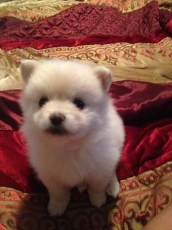 Affectionate M/F P.o.m.e.r.a.n.i.a.n Puppies!!!Massage me at (512)777-1664