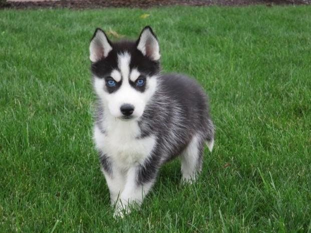 Pennysaver These Adorable Siberian Husky Pups Are Both Playful And