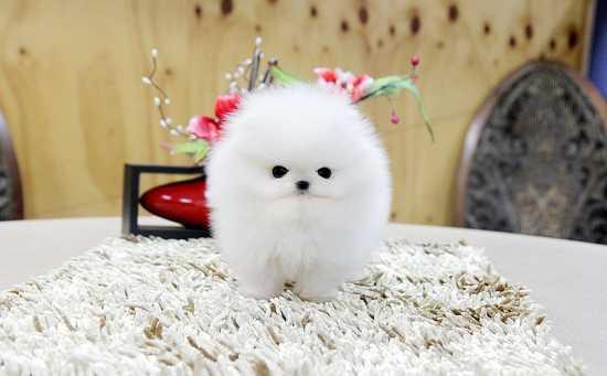 !!!!! Quality P.o.m.e.r.a.n.i.a.n Puppies:!!!contact us at (252) 678-5431