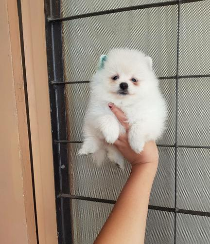 Hello im looking to re-home my pomeranian puppy that is 4 months old