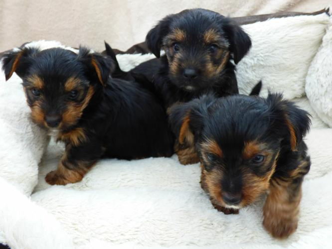 Y.o.R.k.i.e P.upp.i.e.s For F.r.e.e, Ready Now 3 months Old # 815 317 4959