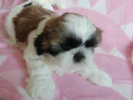 S.h.i.h T.z.u P.upp.i.e.s For F.r.e.e, Ready Now 3 months Old # contct for more info**((707) 840-