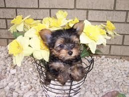CUTE Y.O.K.I.E. Puppies: contact us at(980) 404-1919