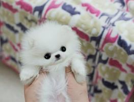 Priceless!! Mini P.o.m.e.r.a.n.i.a.n puppies!! (252) 678-5431