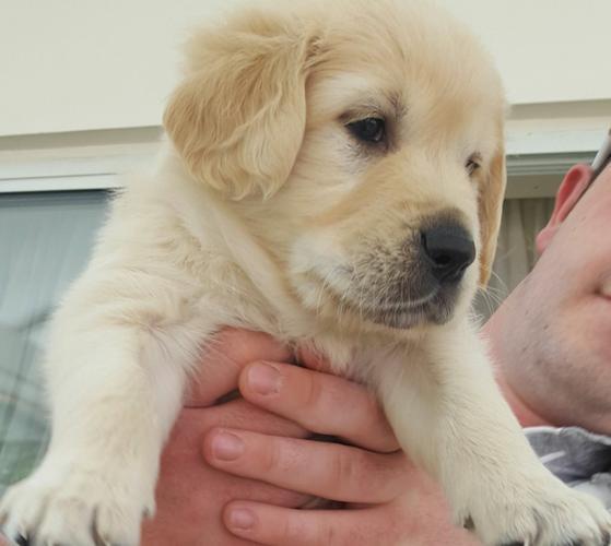 Beautiful Golden Retriever Puppy (girl) For Sale