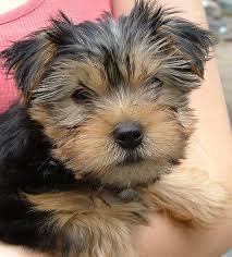 Pretty male and female Y.o.r.k.s.h.i.r.e Puppies(202) 524-3003