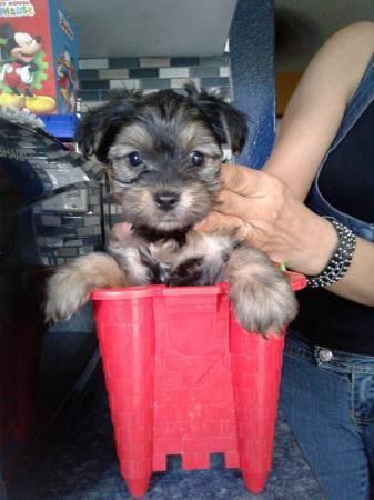 ???Pretty Female and Male Tea Cup Y.O.R.K.I.E puppies??? (302) 308-4255