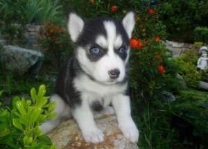 FREE Quality siberians huskys Puppies:contact us at (501) 291-1770