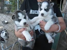 FREE Quality siberians huskys Puppies:contact us at(225)317_9736