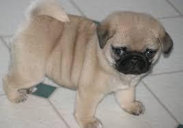 Two Beautiful Pug Puppies Available Text us at : (443)403-6752