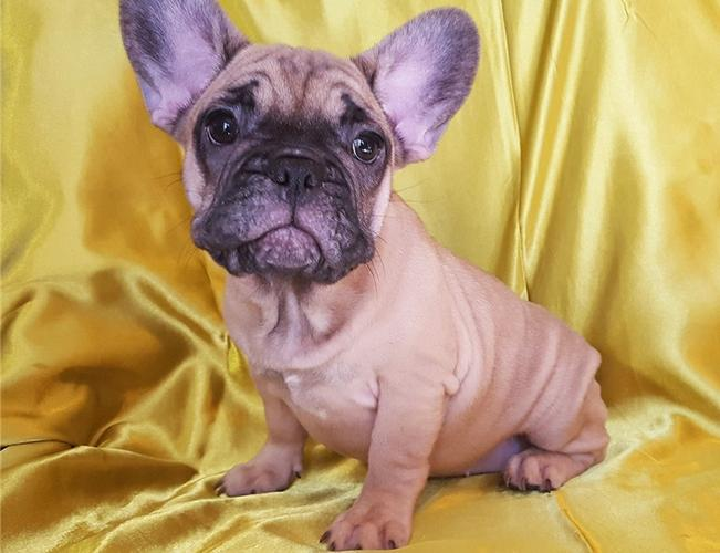 FREE Gorgeous French Bulldoggs Pu.ppies for Good Home