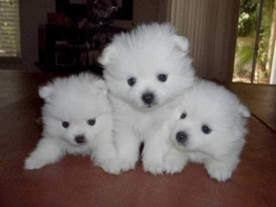 Male and Female Pomeranianss Puppies Available (312) 809-7896.bg