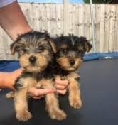 CUTE Y.O.K.I.E. Puppies