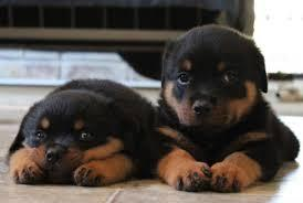 Two Gorgeous R.o.t.t.w.e.i.l.e.r Puppies Available