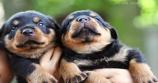 Two Gorgeous R.o.t.t.w.e.i.l.e.r Puppies Available.
