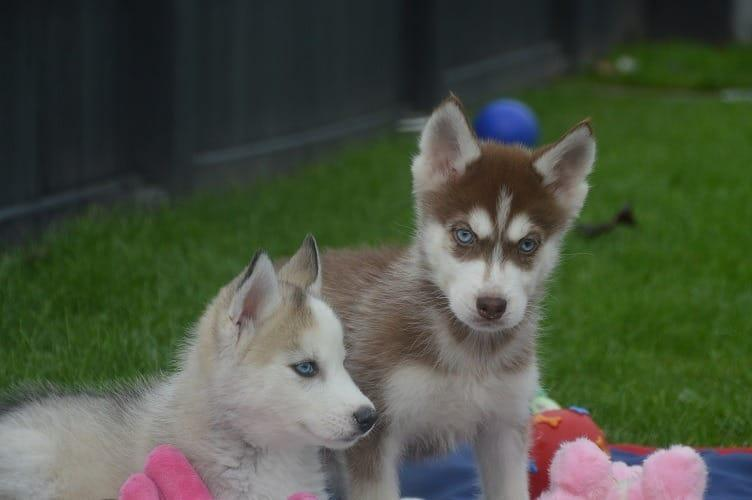 Siberian husky puppies for a new home (2females and 1males with papers)
