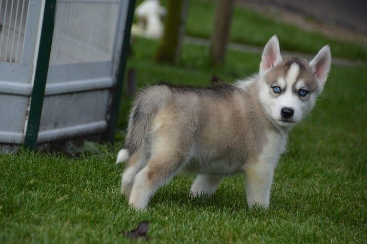 Siberian husky puppies for a new home (2females and 1males with papers)bn