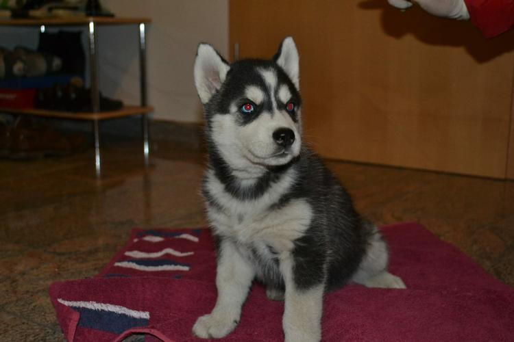 Siberian husky puppies for a new home (2females and 1males with papers)weaaa