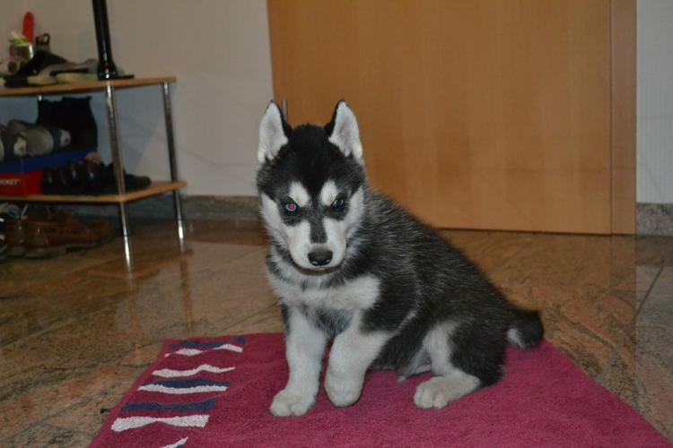 Siberian husky puppies for a new home (2females and 1males with papers)gjy
