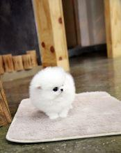 purebred Pomeranian puppies free to GoodHomes.