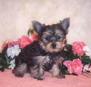 Adorable little male and female Tea Cup yorkie puppies for adoption