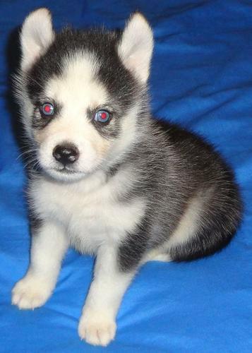 FREE FREE CUTE P.O.M.S.K.Y. Puppies:???(478) 569-5957