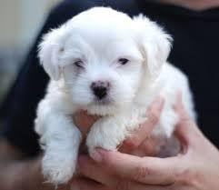 Maltese puppies for adoption. Text: 415x825x3582