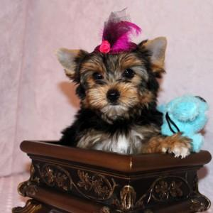 Lovely Teacup yorkie puppies For Adoption