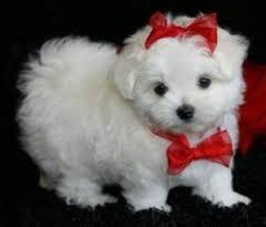 Maltese puppies for adoption. Text: 415x825x3582