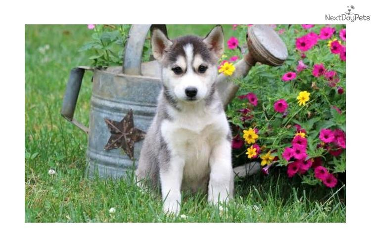 FREE Quality siberians huskys Puppies:contact us at(669) 228-9380