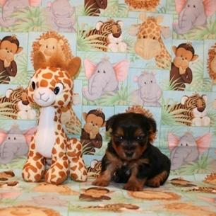 Pretty Awesome Teacup Y.O.R.K.I.E puppies contact (240) 232-6591