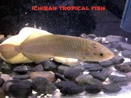 aarowana fish and many others for sale