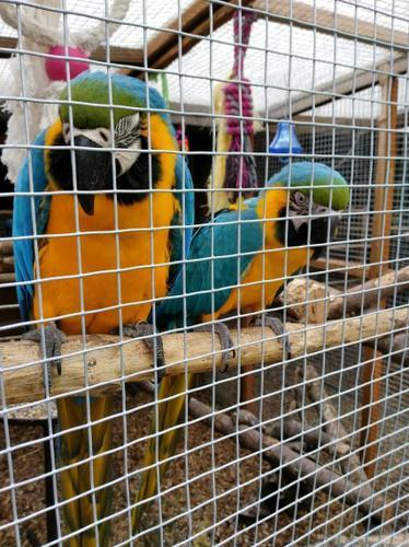 A,B,C Macaw Cindy  (909)245-3325>>>