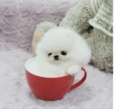 Healthy P.O.m.A.R.A.N.I.A.N puppies!!!(404) 600 7673