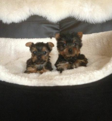Two Micro Teacup Yorkie Puppies For Adoption text (580) 547-4259