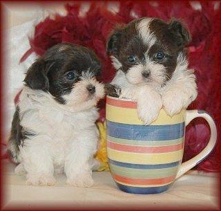 Gorgeous Shih-Tzu's puppies looking for good homes//360-646-8485