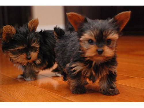 Tea Cup Yorkie's Puppies For Adoption
