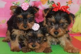 FREE Y.o,r,k,i.es GORGEOUS PUPPIES NOT FOR SELL FREE) NEED HOME/*