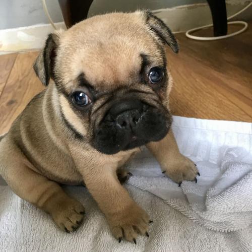 Stunning French Bulldog Puppies CKC Registered