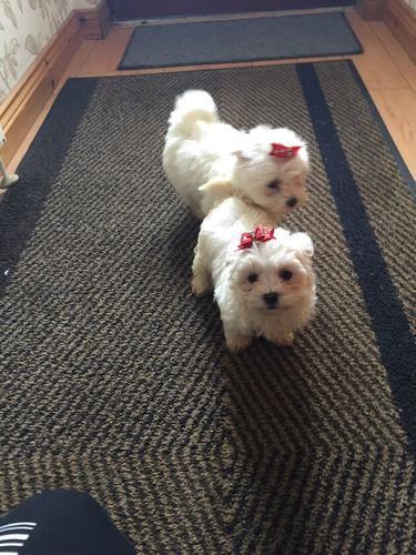 Cute male puppies /Maltese