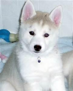 !!!!! Quality siberians huskys Puppies:!!!contact us at(769) 487-2318