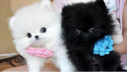 White and Black Pomeranian Puppies For Sale