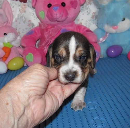 %##%#%^ Amazing Beautiful Easter Playmates and Home Pet Puppies for Sale%$%^^%