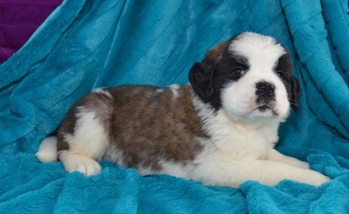 %$%^%Cute and Lovely Saint Bernard Puppies for Sale%$#$@#%$