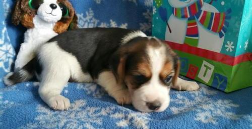 %$$$%Amazing Beautiful Easter Playmates and Home Pet Beagle Puppies for Sale*&&*&