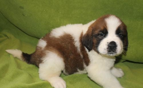 &*^*^* Cute and Lovely Saint Bernard Puppies for Sale$^^&%*