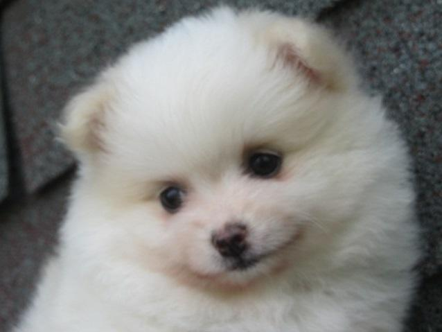 cute male and female pomeranian pups available for sale 614x929x3300
