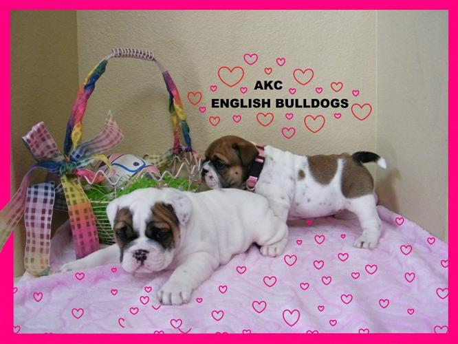 Male and Female Quality~~~ Akc E..ng..l..i.sh.. B.,..ull.,do,g Puppie's contact 484-816-4272